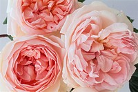 Pink Sharifa English roses developed by David Austin.