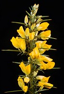 Flowers of European Gorse