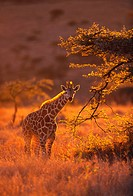 Giraffe on Savanna