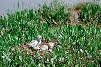 An avocet Recurvirostra avosetta chick watches a sibling hatch at a waterside nest.