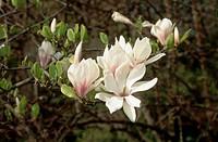 Flower of a saucer magnolia, Magnolia soulangeana.
