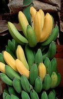 Green and yellow bananas.