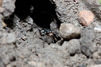 Black Ant Cleaning it´s House