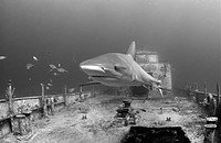 A caribbean reef shark swims around a sunken Bahamas Defense Force vessel. The ship was intentionally sunk as a dive attraction off New Providence Isl...