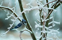 Blue Jay Perches on Icy Branches
