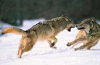 Gray Wolf Exhibits Dominance Behaviors