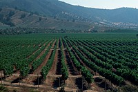 Vines of white grapes mature in a vineyard near the town of Casablanca, 40 miles west of Santiago. Because of the area´s cool marine climate, local vi...