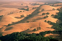 Oak trees grow amid undulating grassy hills turned brown at the end of the summer.