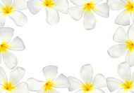 Frangipani flower frame isolated