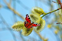 Butterfly on the willow flower