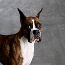 Portrait of Female Pet Boxer