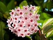 Hoya carnosa cv. Variegata