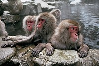 Japanese macaques take refuge from winter cold in a volcano_fed hot spring at the Jigokudani Monkey Park.