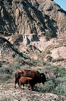 A bison cow nurses her calf in the Theodore Roosevelt National Park, North Dakota