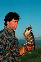 A falconer holds his peregrine falco, who is hooded when not hunting. Falconry is the art of training birds to hunt for game. The Peregrine Fund is an...