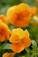 Orange Viola pansy flowers in full bloom