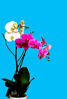 white and magenta orchids