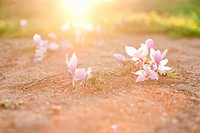 Crocus flowers in sunlight