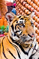 Tiger portrait1