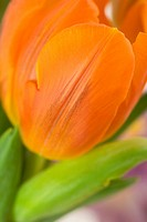 Beautiful fresh tulip