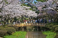 A view of Kenroku-en garden with cherry trees in bloom