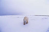 A polar bear walks across the snowy landscape at Gorgon Point in Manitoba.