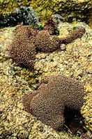Lithophyllum tortuosum algae