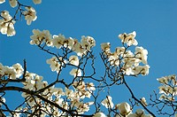 Magnolia on the blue sky