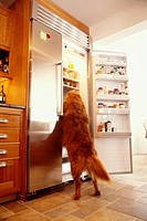 Dog Searching Open Refrigerator