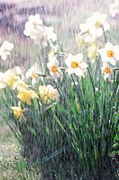 Rain Pouring on Daffodil Flowers