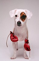 Jack Russell Terrier puppy with boxing gloves