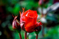 Foto of red rose in parents garden