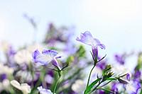 Blue lobelia close up