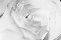 Close up of the rose petals