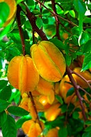 Carambola star fruit growing in orchard, close_up