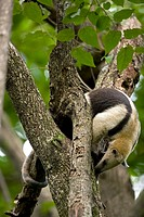 Northern tamandua Tamandua mexicana - feeding - Costa Rica - in tree - tropical dry forest