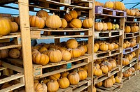 Pumpkins in a farm barn