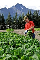 Boy picks vegetables at an organic farm in the Matanuska Valley near Palmer, Southcentral Alaska, Summer