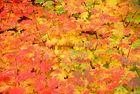 Vine Maple Tree Leaves Changing Color