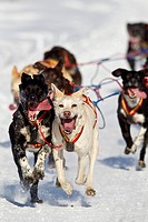 Arleigh Reynolds´ team race down the trail during the 2011 Fur Rondy Open World Championship Sled Dog Race, Anchorage, Southcentral Alaska, Winter