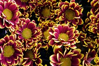 Group of chrysantemums