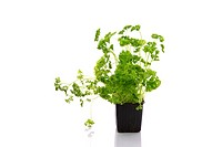 Parsley Petroselinum crispum