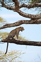 A leopard (Panthera pardus) sitting on tree and yawning in the Serengeti National Park, Tanzania, Africa