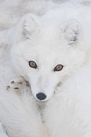 CAPTIVE: Close up of an Arctic Fox in white phase, Yukon Wildlife Preserve, Yukon Territory, Canada