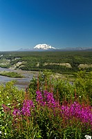 Scenic sunny view of Mt. Wrangell with Fireweed in the foreground, Wrangell_St. Elias National Park and Preserve, Southcentral Alaska, Summer