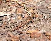 Western Fence Lizard _ sceloporus occidentalis