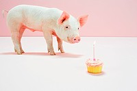 Piglet looking at birthday cake in studio (thumbnail)