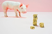 Piglet looking at stack of gold coins in studio