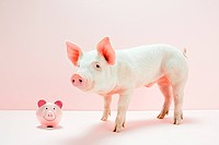 Piglet with piggybank in studio (thumbnail)