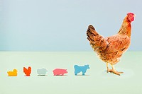 Hen standing with line of toy farmyard animals in studio